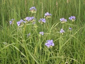 At Bluprairie Native Plant Nursery We Grow Plants From Seed Collected Local Sources Either Our Own Or With Permission Landowners